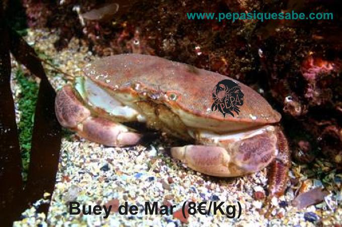 buey-de-mar-8e